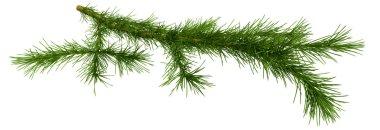 Christmas tree fir branch over white