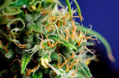 Marijuana Plant Macro Bud