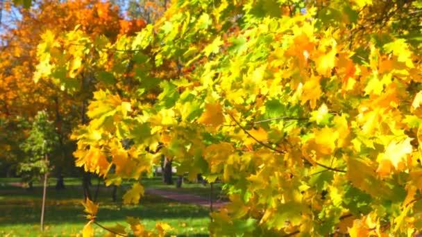 podzimní listí na podzim z javorového větví