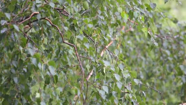 Branches a birch under a summer rain