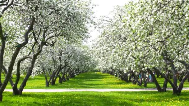 krásné kvetoucí jabloň zahrada