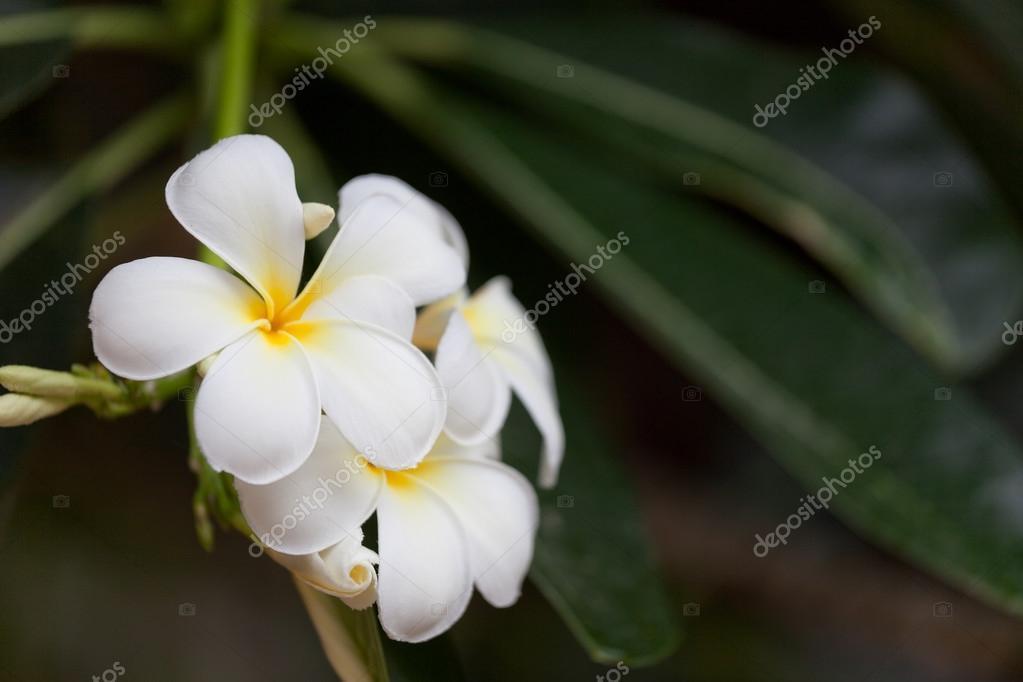 tropische Pflanze der Plumeria mit wunderschönen weißen Blüten ...