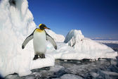 Big imperial penguin on ice
