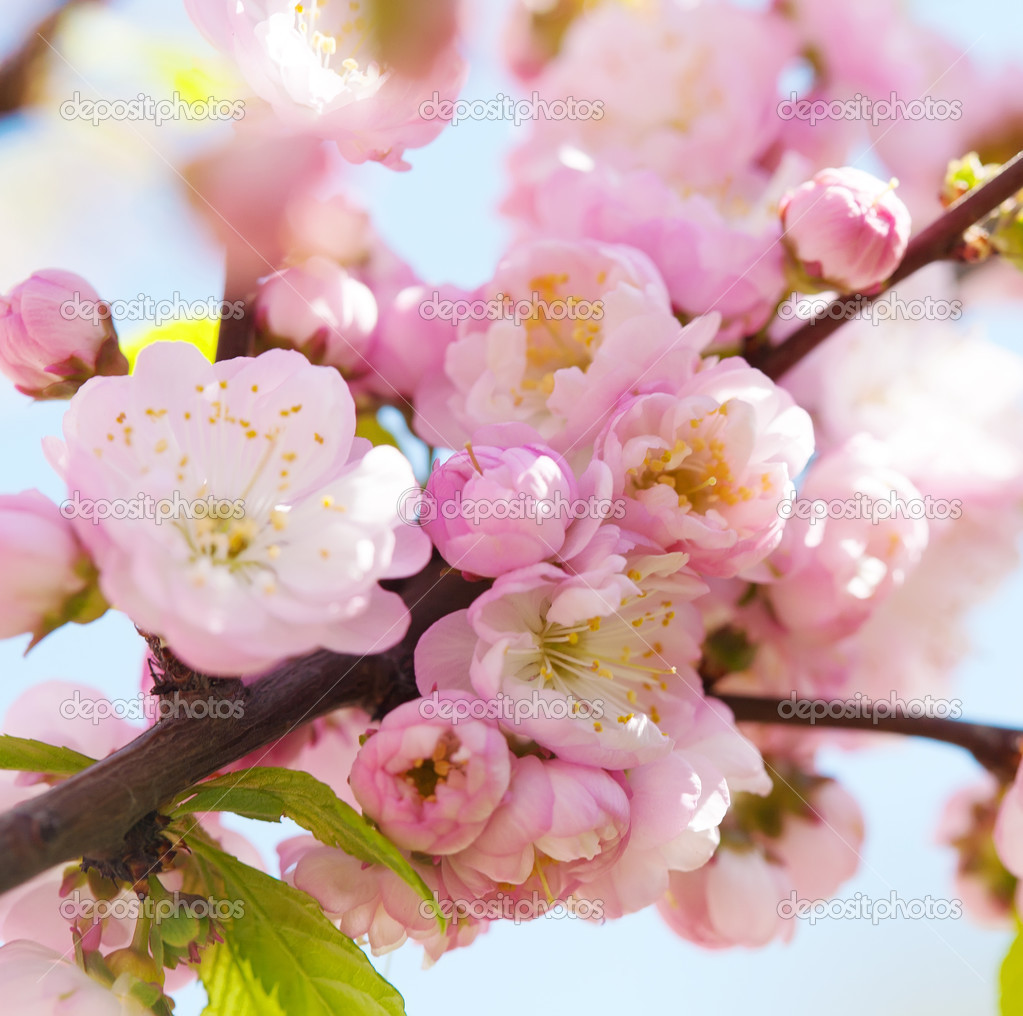 Kirschen japanische Japanische Kirsche