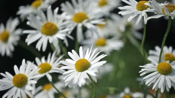 kvetoucí camomiles zblízka