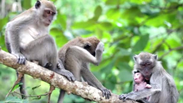 dospělé opice s mládě