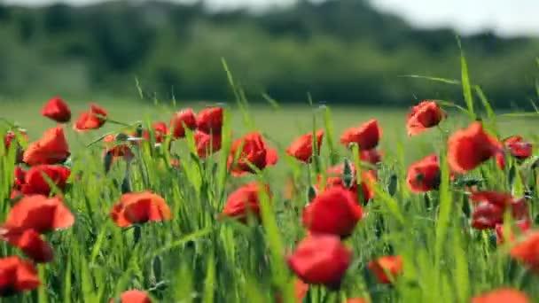 velké oblasti kvetoucí červené máky