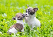 Fotografie dvě malá čivava štěňata
