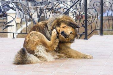 Dog Scratching Flea