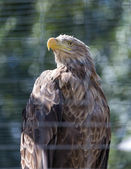 Fotografie White-Tailed Eagle