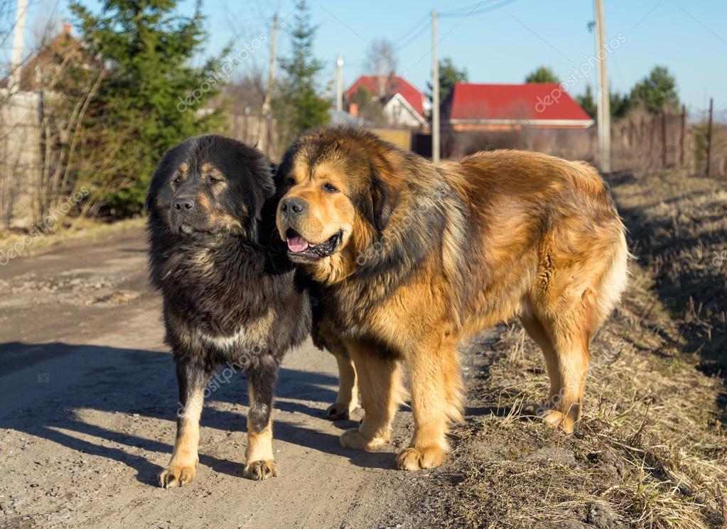 Dwa pies rasy Mastif tybetański — Zdjęcie stockowe