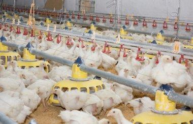 Chicken . Poultry farm