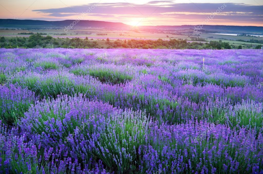 Meadow of lavender.