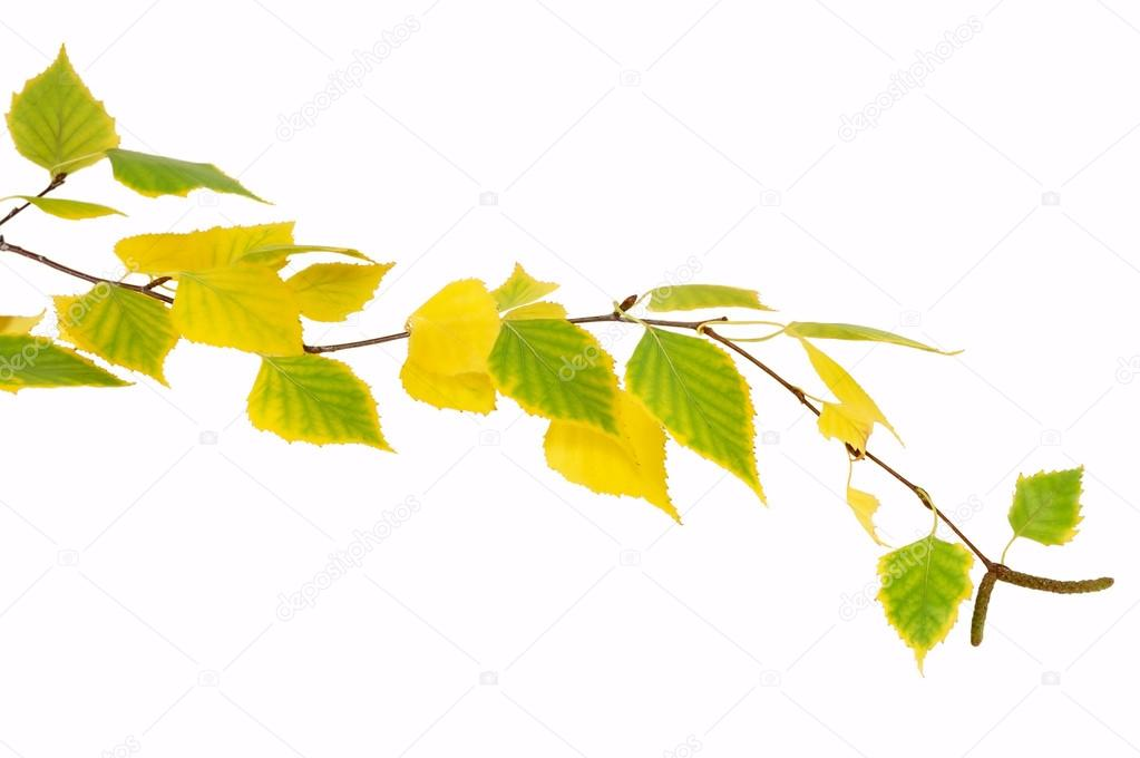 sprig of birch trees with autumn leaves