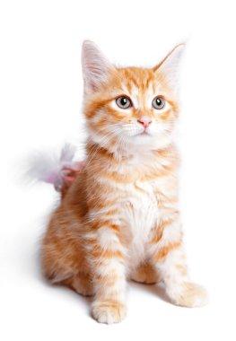 Persian ginger kitten.