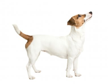 Jack Russell Terrier looking
