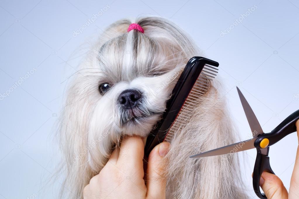 Shih Tzu Dog Grooming Stock Photo Chaoss 41220573