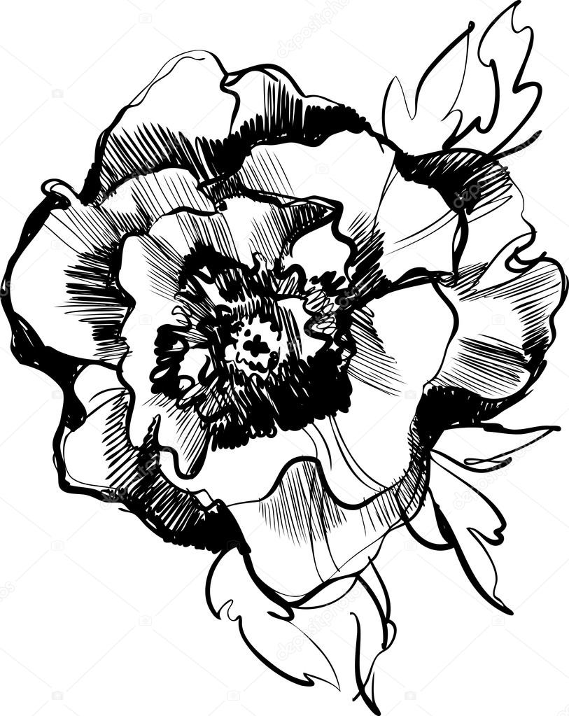 sketch of a beautiful blooming peony flower