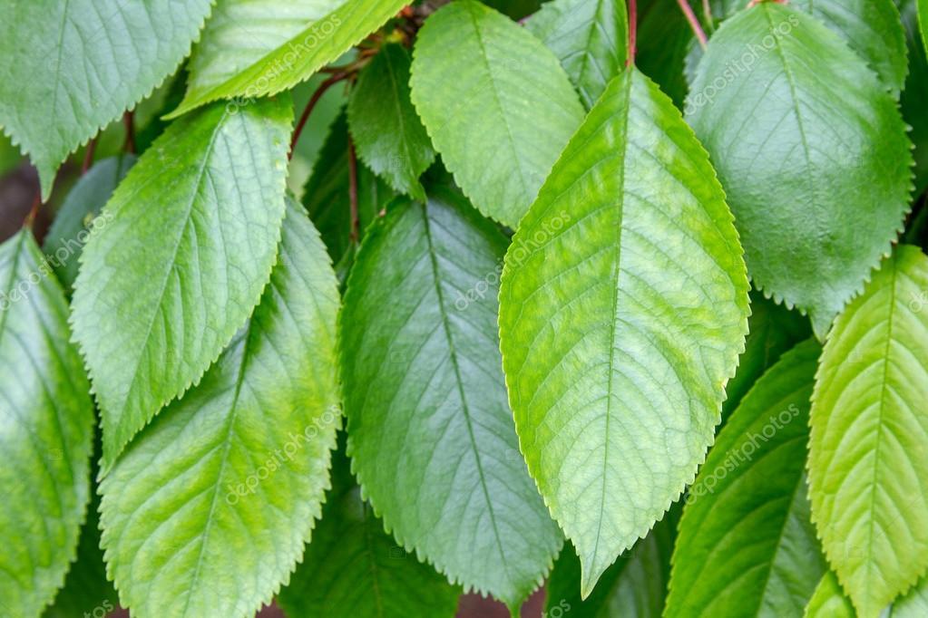 Las hojas en una rama de la cereza de rboles frutales for Arboles frutales de hoja caduca
