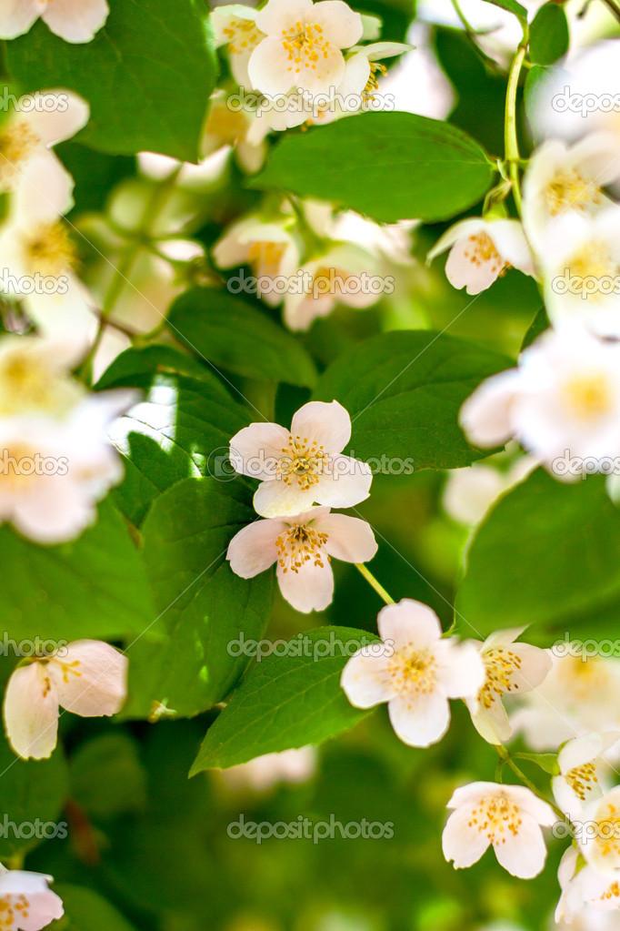 Escuchar planta ramita flor jazm n en flor foto de stock for Jazmin planta precio