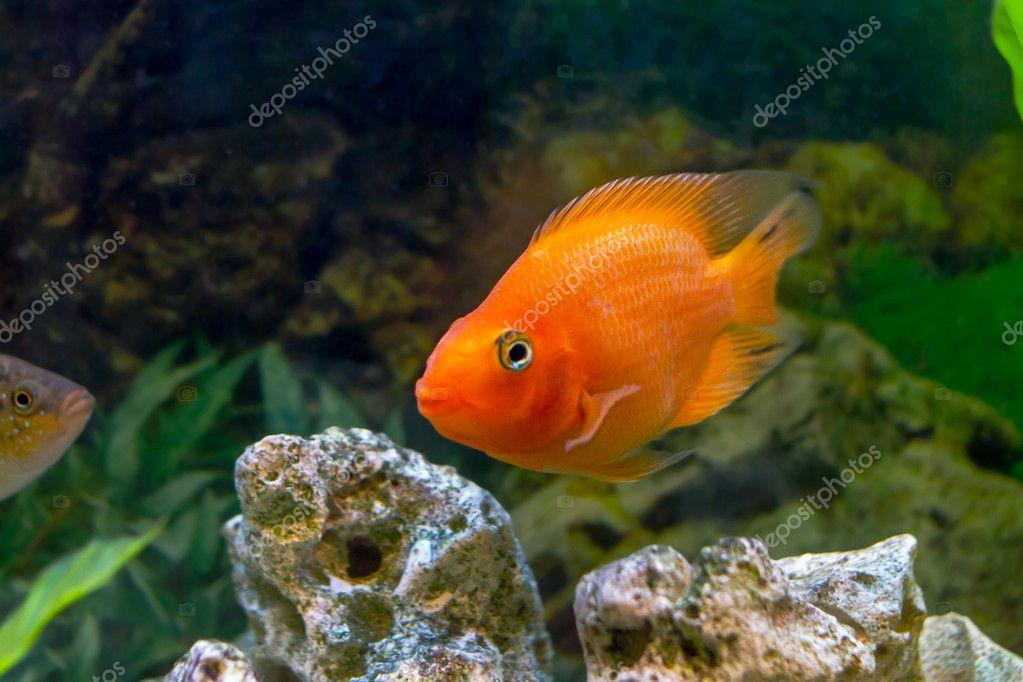 Aquarienfisch