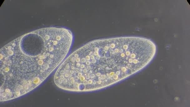 infusoria pod mikroskopem