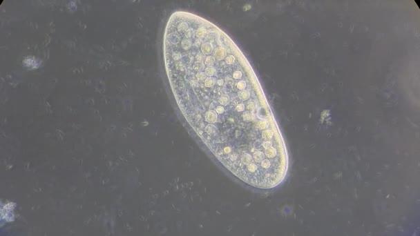 živá zvířata jednobuněčné pod mikroskopem