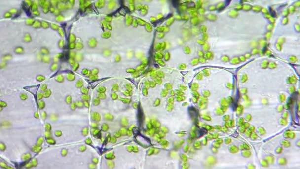 chloroplasty v živých buňkách lily pod mikroskopem