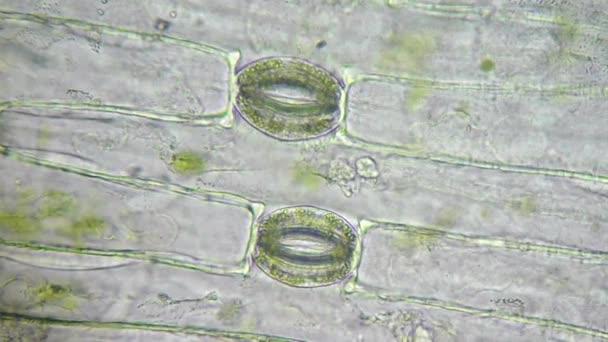 rostlinné buňky s zelených chloroplastů a stomie pod mikroskopem
