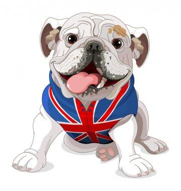 English Bulldog wearing a coat