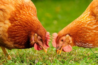 Domestic Chickens Eating Grains and Grass