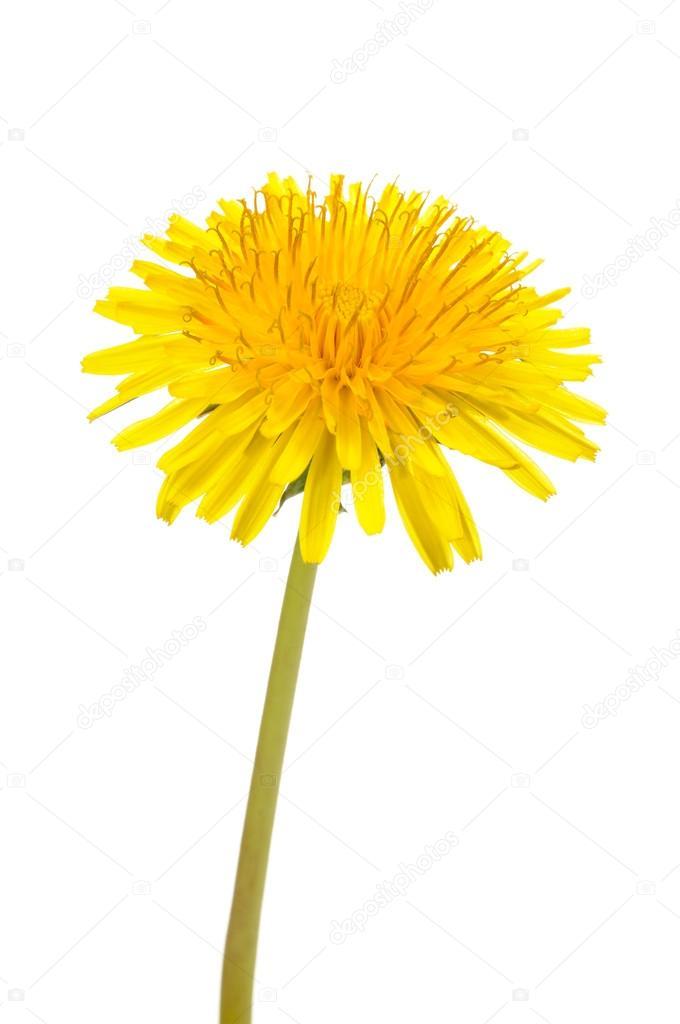 Yellow Dandelion (Taraxacum Officinale) Flower