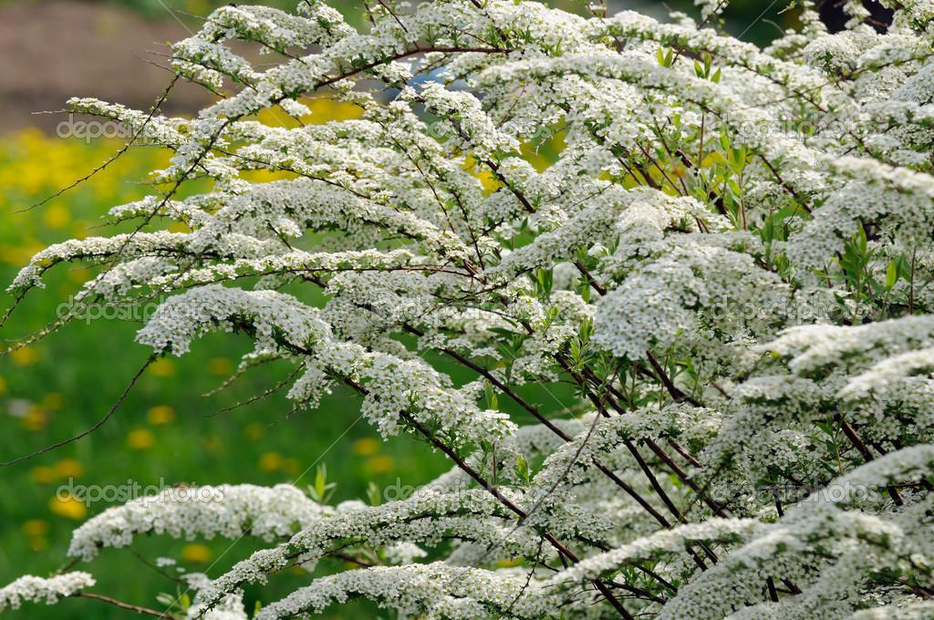 Schöne Spiraea (Maedesuess) Strauch mit weißen Blüten — Stockfoto ...