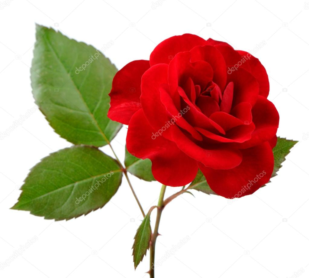 Beautiful Red Rose with Leaves on White Background