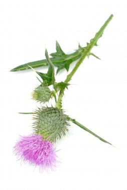 Milk Thistle (Silybum Marianum) with Pink Flower Isolated on White Background