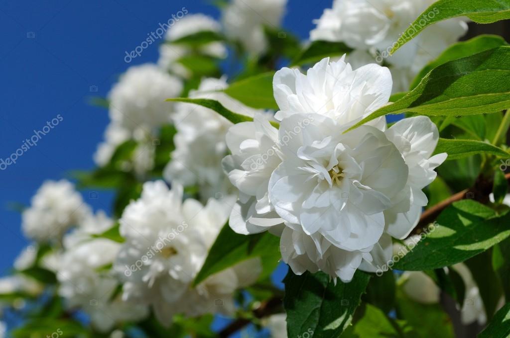 Beautiful White Jasmine Flowers on Blue Sky Background