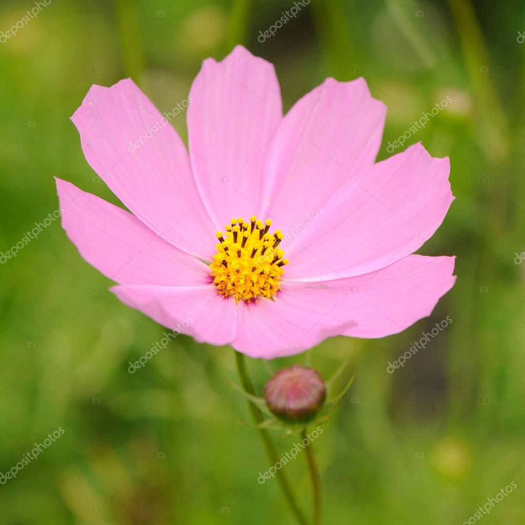 Fleur Rose Jardin Cosmos Aster Mexicain Photographie Digifuture