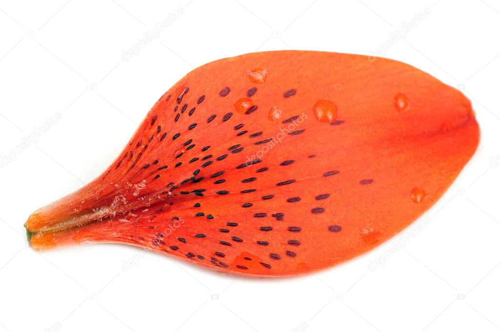 Tiger Lily Petal Isolated on White Background