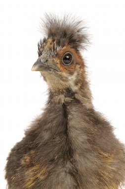 Cute Chinese Silkie Baby Chicken Close-Up on White Background