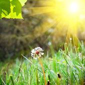 Fotografie bílé Pampeliška na zelené trávě