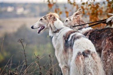 Borzoi dog portrait