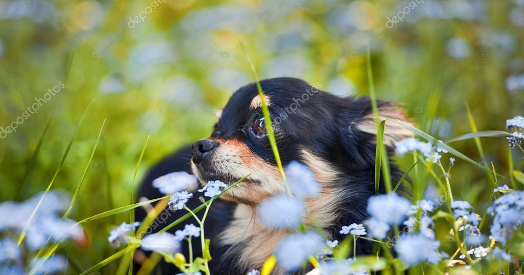 Long-hair Chihuahua dog