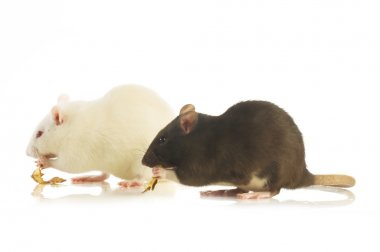 Two mice eating