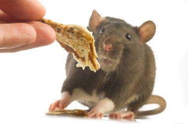 Man feeding black rat