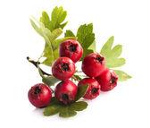 Fotografie Herbal medicine: Branch of crataegus berries