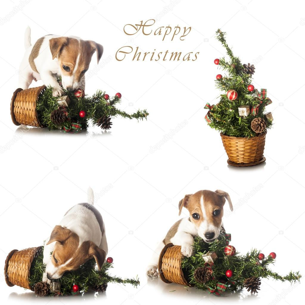 Jack Russell Terrier with Christmas tree set