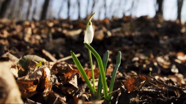 Snowdrop in spring wood