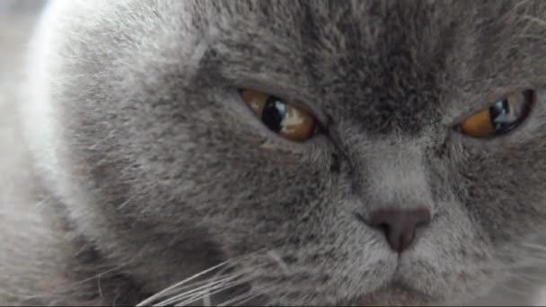 Szürke brit Rövidszőrű macska