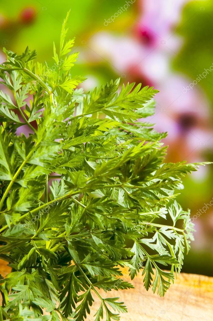 Garden chervil Stock Photo nankaphoto 44537047