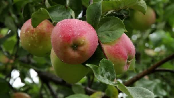 zralé, šťavnatá jablka na větvi.